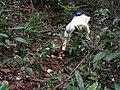 Aspidosperma spruceanum, gararoba - Flickr - Tarciso Leão (6).jpg