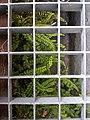 Asplenium trichomanes subsp. quadrivalens sl2.jpg