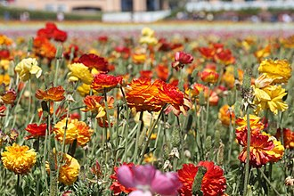 The Flower Fields - Assortment of flowers at The Flower Fields