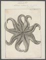 Asterias endeca - - Print - Iconographia Zoologica - Special Collections University of Amsterdam - UBAINV0274 108 04 0005.tif
