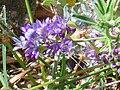 Astragalus glaux Enfoque 2010-7-17 SierraNevada.jpg
