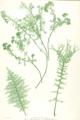 Athyrium filix-femina Moore34.png