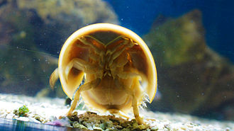 Atlantic horseshoe crab - Underside view of a living male crab, showing the mouth, gills and legs