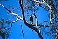 Australian Magpie (Gymnorhina tibicen) (9854769223).jpg