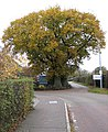 Autumn Oak - geograph.org.uk - 615050.jpg