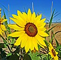 Autumn Sunflower, Redlands, CA 10-14 (15380755137).jpg