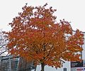 Autumn Tree at Bradford University (10998090784).jpg
