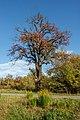 Autumnal tree - Malsch 01.jpg