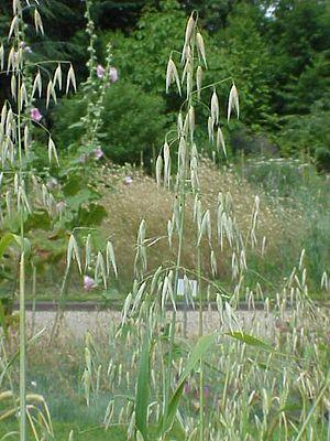 Avena - Common wild oat (Avena fatua)