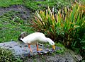 Aylesbury Duck (11404469095).jpg