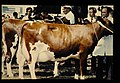 Ayrshire = 世界の牛 エアシャー(雌) (36660259986).jpg