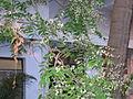 Azadirachta indica flowers in Guntur.jpg