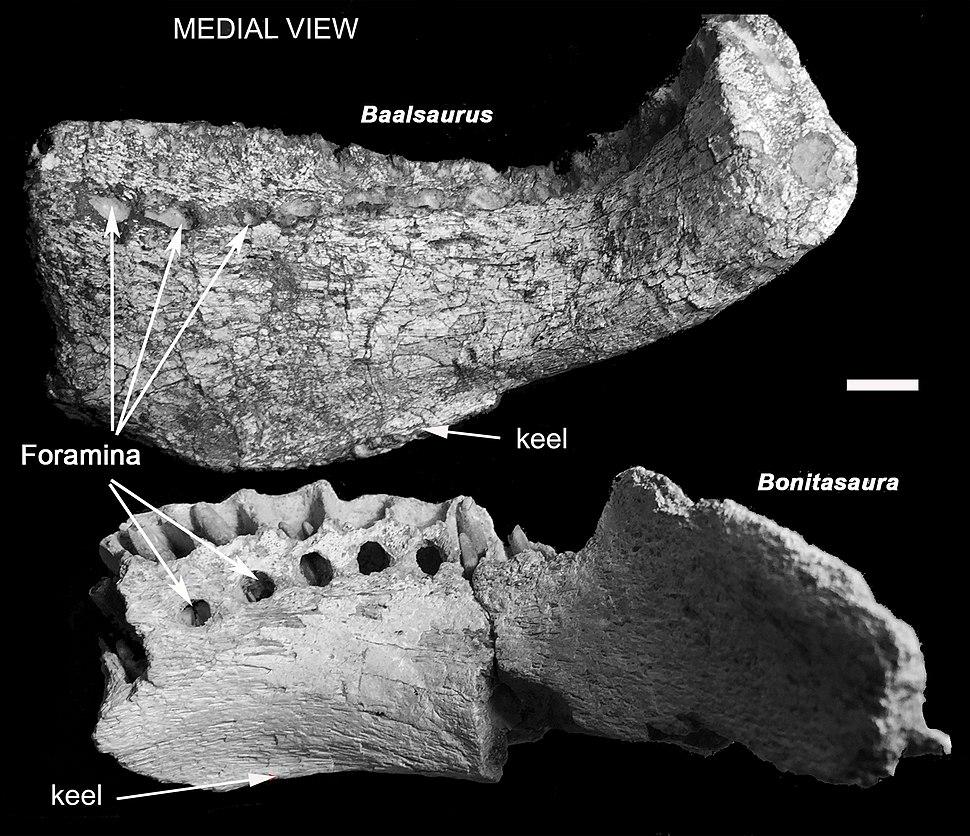 Baalsaurus and bonitasaura jaws