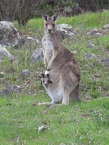 Image result for eastern grey kangaroo
