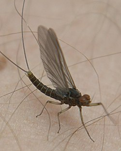 meaning of mayfly