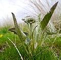 Balsamorhiza sagittata- pre bloom.jpg