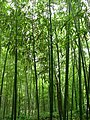 Bamboo 竹林 (5811998260).jpg