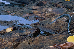 Banded Sea Krait (Laticauda colubrina) returning to the sea (14638010061).jpg