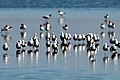 Banded Stilts and Red-necked Avocets (24813298956).jpg