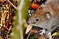 Bank Vole - Lackford Lakes (37624277204).jpg