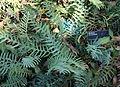 Banksia blechnifolia - Leaning Pine Arboretum - DSC05467.JPG