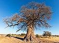 Baobab (Adansonia digitata), parque nacional Makgadikgadi Pans, Botsuana, 2018-07-30, DD 10.jpg