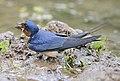 Barn Swallow male.jpg
