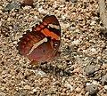 Baronet (Euthalia nais) in Narshapur, AP W IMG 1050.jpg