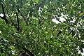Barringtonia acutangula (Freshwater Mangrove) in Kolkata W IMG 8539.jpg