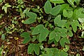 Bauhinia sp4129.jpg
