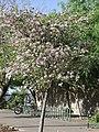 Bauhinia variegata2GEHU.jpg