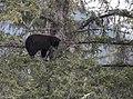 Bear 1 tree 123.jpg