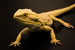 Bearded Dragon Lizard.jpg