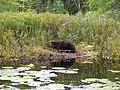 Beaver (5062232175).jpg