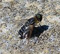Bee-fly. Villa sp - Flickr - gailhampshire.jpg