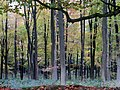 Beech in the autumn - Collingbourne Wood - Nov 2012 - panoramio.jpg