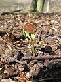 Beech seedling 2.JPG