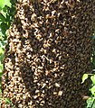 Bees cluster.jpg