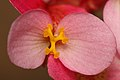 Begonia flower SP.JPG