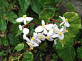 Begonia odorata-yercaud-salem-India.JPG