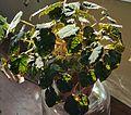 Begonia strigillosa.jpg