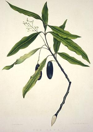 Beilschmiedia tawa - Tawa foliage