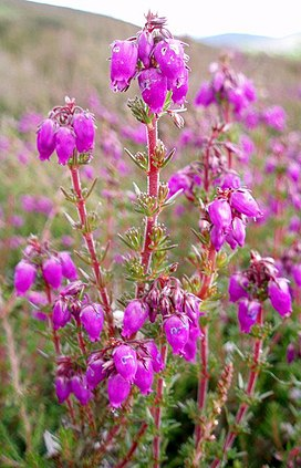 Bell Heather - geograph.org.uk - 493968.jpg