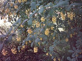 Berberis canadiensis RB.jpg