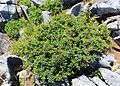 Berberis thunbergii (tree s2).jpg