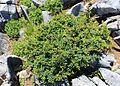 Berberis thunbergii (tree s2).jpg