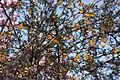 Berberis x stenophylla - floraison.jpg