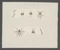 Beris - Print - Iconographia Zoologica - Special Collections University of Amsterdam - UBAINV0274 039 01 0011.tif