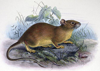 White-toothed rat - Bower's white-toothed rat (Berylmys bowersi)