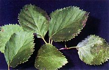 Betula occidentalis USDA.jpg